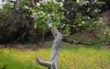菩提本無樹,丁香樹居然也是菩提樹?