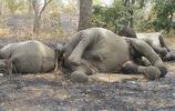 盜獵者手雷炸大象,護林員扛火箭筒反擊