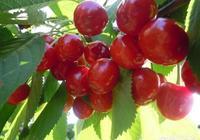 吃櫻桃有什麼好處?