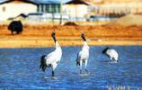 香格里拉冬日觀鳥季 上萬只候鳥唱響綠水青山之美