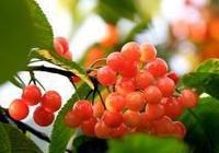 華龍網攝友石竹茶壺作品:紅櫻桃