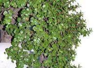 養金枝玉葉,一個小技巧,盆栽變成漂亮盆景,葉綠枝多姿態優美