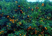 說農村:這些農民大批量種植沙糖桔,租農民的土地,請農民來幹活