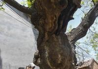 河北故城:古樹保護 刻不容緩