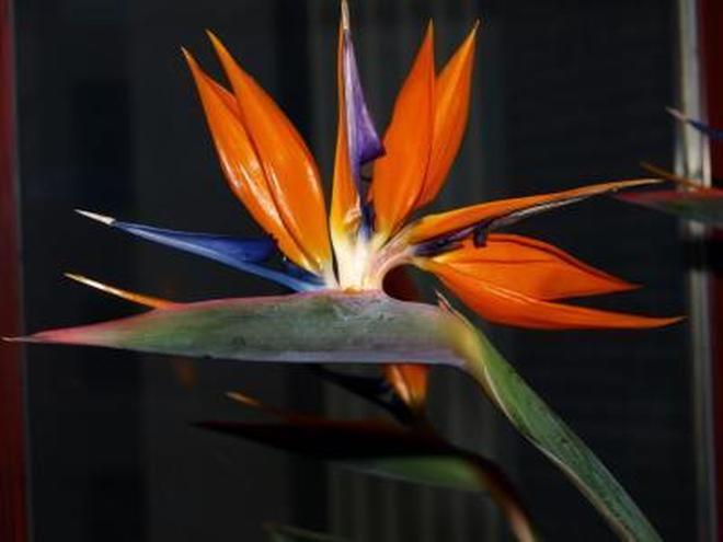 植物圖集:鶴望蘭植物美圖