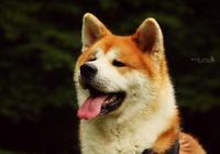 有的狗只想獨得主人恩寵,這8種狗狗,家裡只養它一隻就好