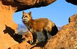 動物圖集——伶俐的狐狸