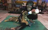 飼養員把猩猩找來當小老虎奶媽,猩猩當得有模有樣