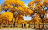 額濟納的夏天,樹葉總是一片黃金的色澤!