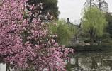 無錫梅園內梅花、鬱金香競相開放,這就是春天的樣子