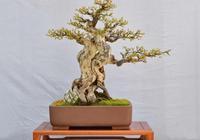 黃楊盆景下山樁頭冒芽後做到3點養護,葉多枝多後期好養胚