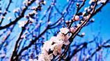 到了賞櫻花的時候了,除了看還能吃,大家快約起來吧!