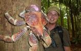 直擊比帝王蟹還大的椰子蟹,價格昂貴,是開椰子小能手