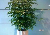 幸福樹該怎麼家養?