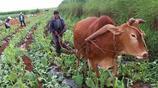 農民大爺種的稀罕作物,只要1塊1斤,城裡人卻不認得叫什麼名字!