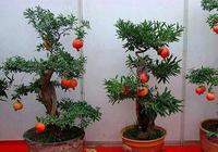 """盆栽石榴繁殖,就用""""高壓法"""",成活容易,只需三個月,長滿根"""