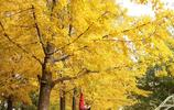 金秋十月,在遼寧省丹東市著名的銀杏黃金大道實拍美景