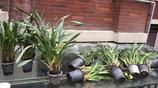 我怎麼碰不上這樣的好事,只是去買花土,結果撿回來了十多盆這樣的蘭花