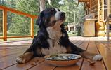 動物圖集:聰明的伯恩山犬