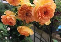 """7月,陽臺上天天開花的""""5種花"""",晒也好熱也好,一直開花不停"""
