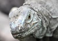 科莫多巨蜥VS澳大利亞灣鱷, 誰是真正王者!