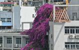 廣西30米高巨型紫色花瓣瀑布,每年吃兩斗車大餐,會爬牆攀吊塔