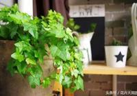 別再養綠蘿了,室內最好的綠植全在這裡,完美PK綠蘿!