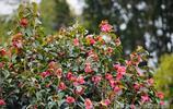 雲南有個被四萬多株茶花包圍的小村莊 每到春天奼紫嫣紅美爆了!