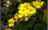 花卉大全——迎春花