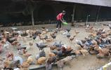 85後美女省城裡有房有車 辭掉工作回鄉養雞 把土雞變成了搖錢樹