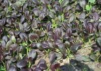 農村一種新型雜交蔬菜,鈣含量是油菜2倍