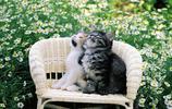 動物圖集:可愛的貓咪寫真   籃子中的貓