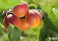 農村的杏子快成熟了,吃杏子有什麼禁忌嗎?