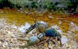 世界淡水龍蝦之王,重達6公斤、長80釐米,被吃成了瀕危物種