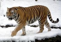 東北虎和棕熊誰更厲害?