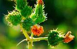 手機壁紙,16:9比例,苦苣菜,是野菜,也是草藥