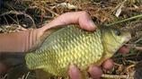 秋季野釣鯽魚不上鉤?教你一個小技巧,讓你輕鬆飛竿爆護!