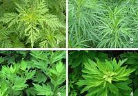 清明採艾草,如何區別艾草和蒿草呢?