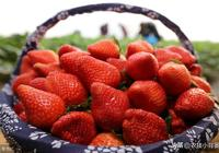 冬季大棚草莓從種到收,一篇文章學會整套草莓高產種植管理技巧!