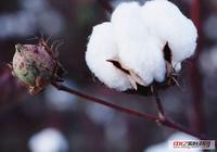 9.25最新棉花價格行情走勢:今日棉花多少錢一噸?