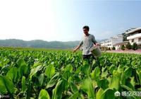 澤瀉長在河邊,根莖都帶有毒素,卻為何被農民當成心頭肉?