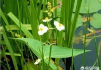 在東北的水稻田裡,有什麼藥對野慈菇特效?
