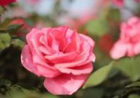 宜春市高安大城玫瑰花爭奇鬥豔引大量遊客