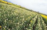 太神奇了,漢中邢家壩村的油菜花除了有黃色的,還有金色、白色的