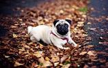 動物圖集:哈巴狗的優雅