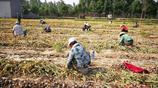 實拍農村挖蒜工,跪著爬著勞作,一天挖大蒜1千多斤掙400元