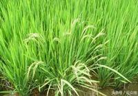 每週一草:水稻田裡雜草稻很多,用什麼藥可以除掉?