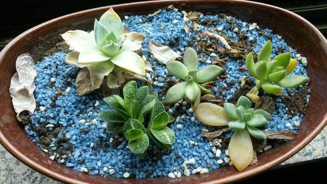 植物圖集:多肉植物