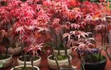 適合秋季栽種的盆栽花卉,養全三四種家裡就變花園了