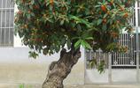 """它叫""""帝王之木"""",古代只有王室成員才配擁有,神奇功用太多了,小葉紫檀一"""